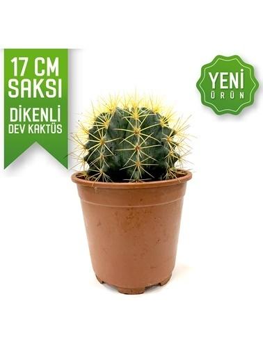 Çiçek Antalya Çiçek Antalya Acanthocalycium Dev Kaktüs 17 Cmçiçek Yeşil